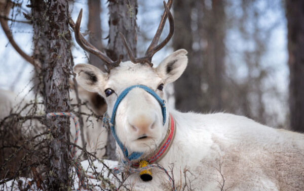 Bolesworth Christmas Reindeer